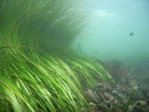 eelgrass-seagrassli-org
